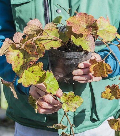 Plant de Rubus irenaeus de notre production