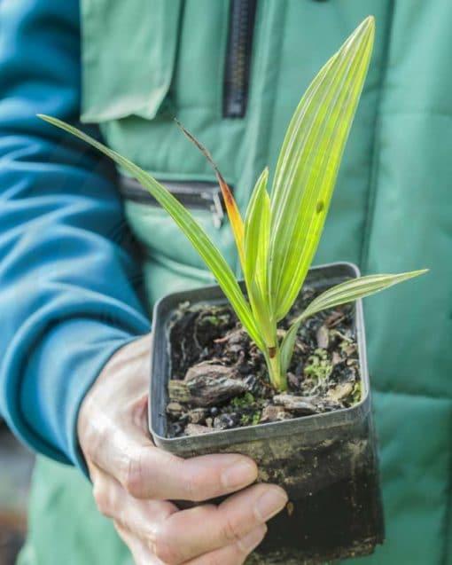 Plant d'Acoelorrhaphe wrightii de notre production