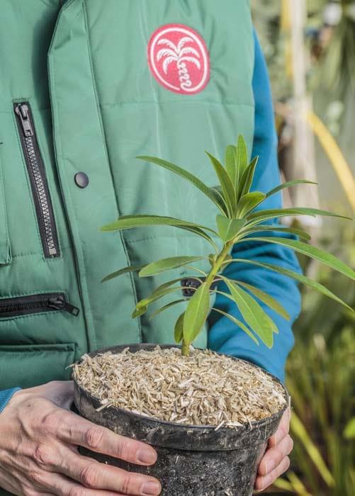 Euphorbia mellifera Agathe