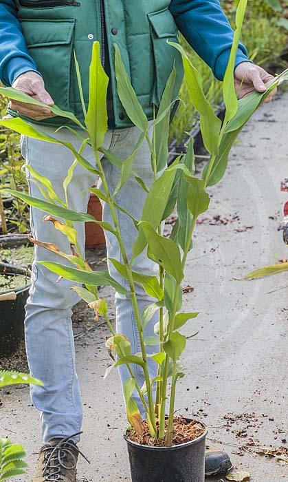 plant d'Hedychium flavescens de notre production