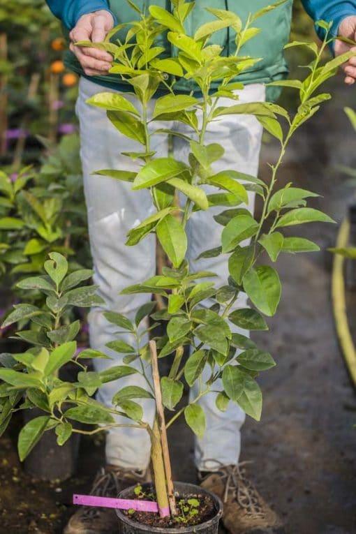 Plant de Citron 'Lisbonne'