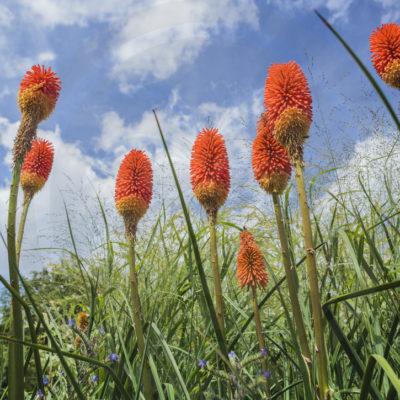 Kniphofia 'Nobilis' en fleur
