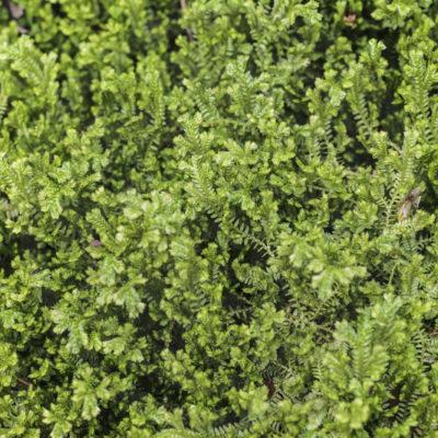 Selaginella kraussiana, en gros plan