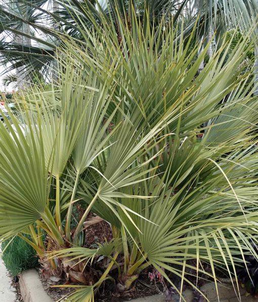 Portrait du palmier Nannorhops ritcheana
