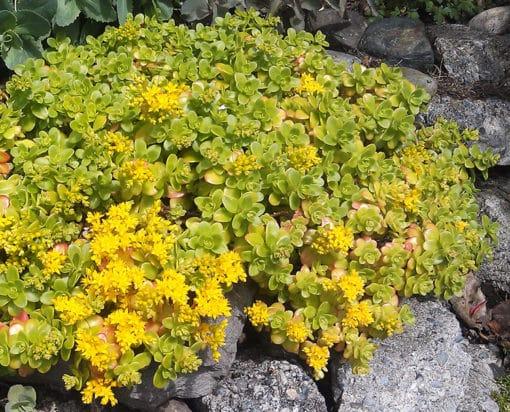 Sedum kimnachi en fleurs