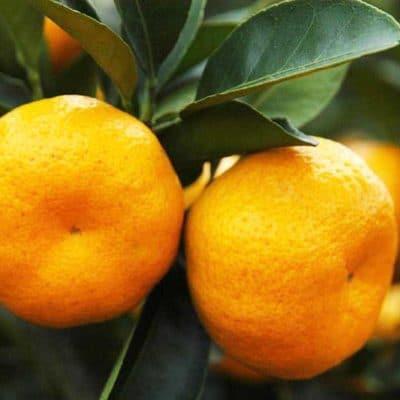 Citrus reticulata Changsa, mandarine Changsha