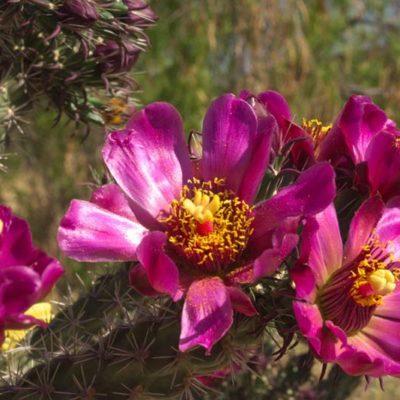 Cylindropuntia spinosior en fleur