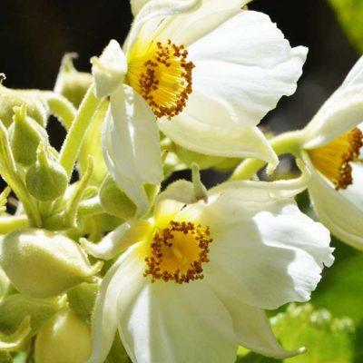 Entelea arborescens, liège de Nouvelle-Zélande