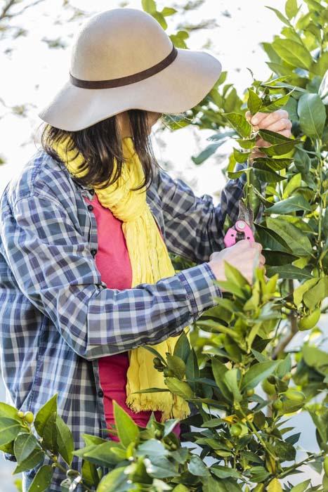 Femme taillant un citronnier