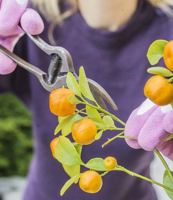 Comment tailler un agrume ?