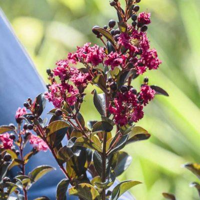 Fleur de Lagerstroemia Enduring Summer Red