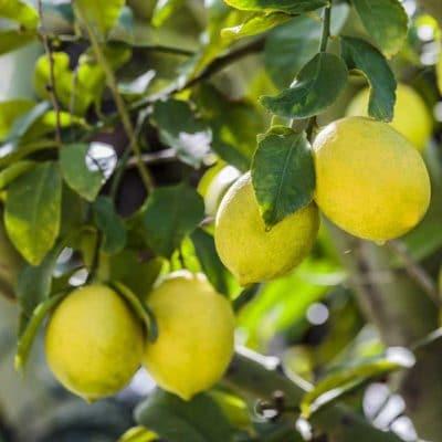 Citrons de la variété Meyer