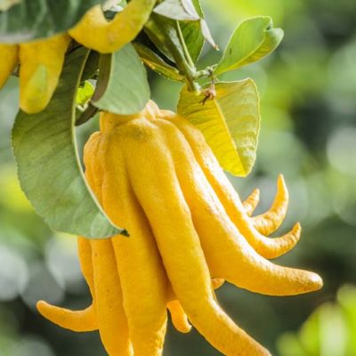 Cédrat main de Bouddha, Citrus medica var sarcodactylis