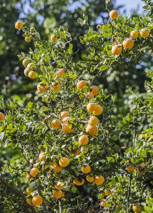 Poncirus Flying Dragon en fruits