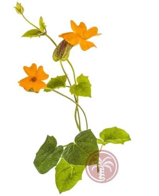 Thunbergia gregorii en fleur
