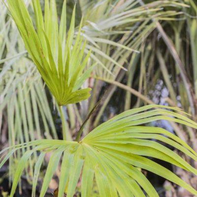 Livistona chinensis de notre production