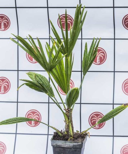 Trachycarpus wagnerianus de notre production