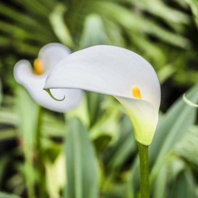 Zantedeschia White Gnome en fleur