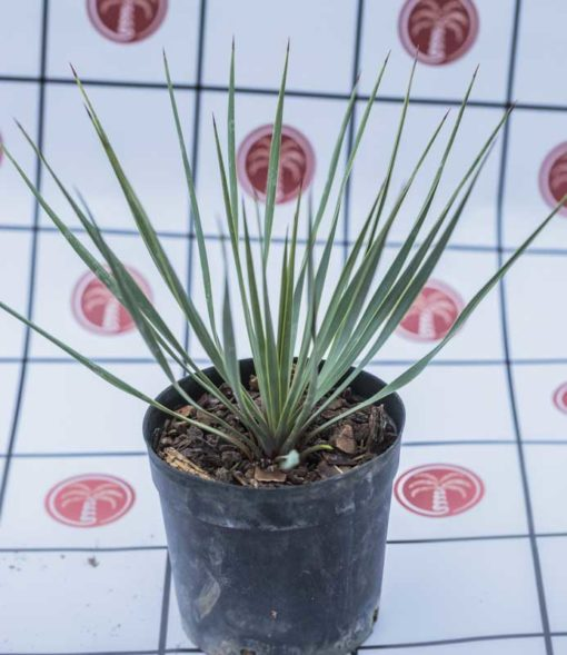 Yucca rostrata de notre production