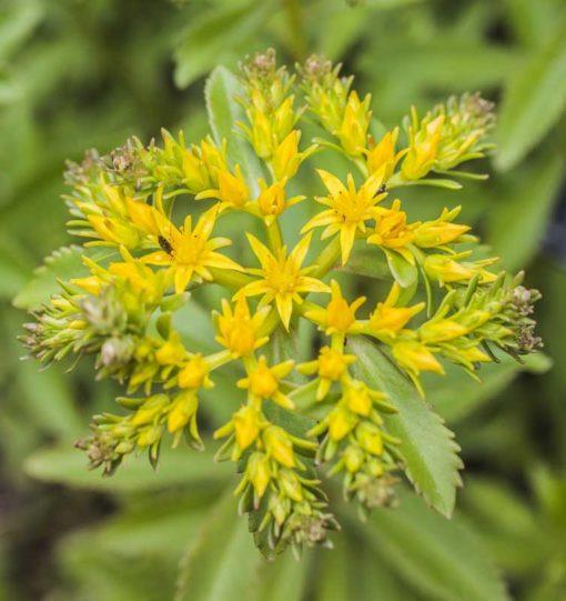 fleur de Sedum takesimense