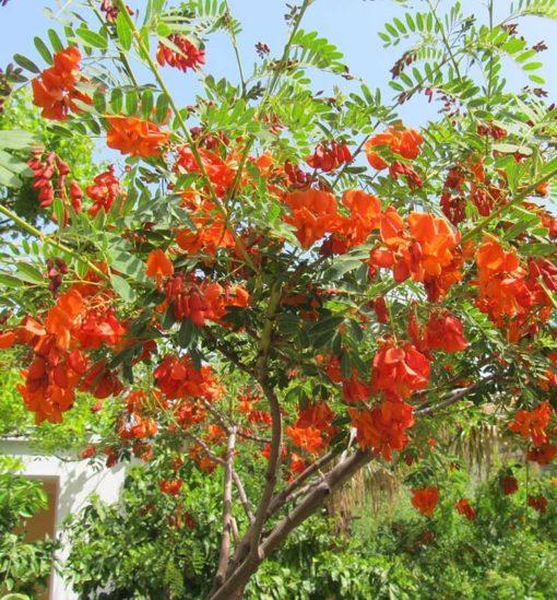 Sesbania punicea en fleurs