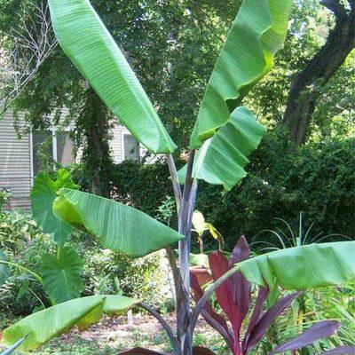 Bananier, Musa balbisiana 'Atia Black'