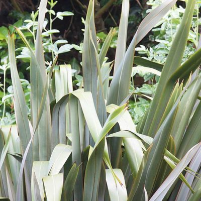 Phormium tenax à feuilles larges
