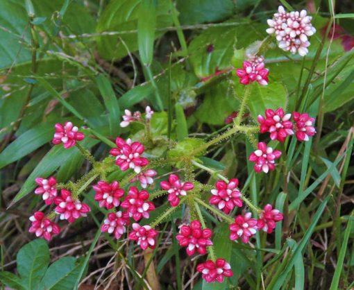 Fleur de Polygonum sphaerocephalum