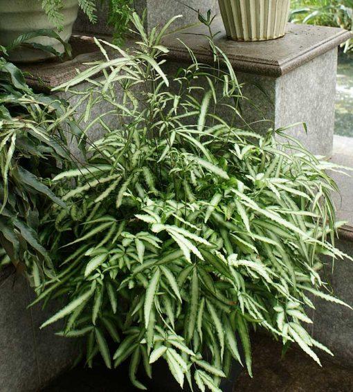 Potée de Pteris cretica albolineata dans un patio