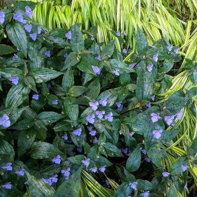 Tinantia pringlei Panther, en fleurs