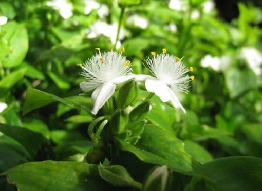 Tradescantia fluminensis en fleur