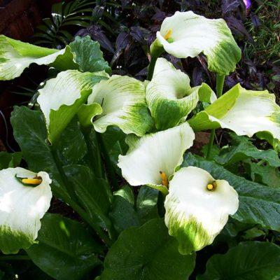 Arum d'Ethiopie Green Goddess en fleurs