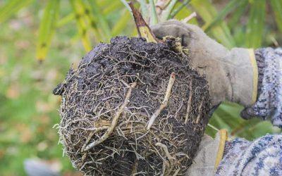 Comment transplanter un palmier ?