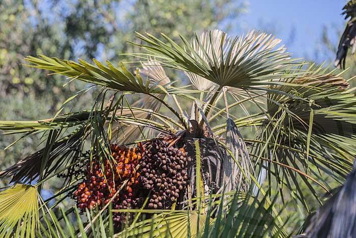 Palmier attaqué par Paysandisia, le papillon palmivore