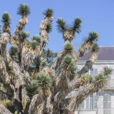 Yucca australis, sujet centenaire