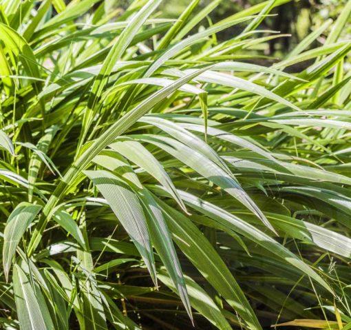 Setaria palmifolia à maturité