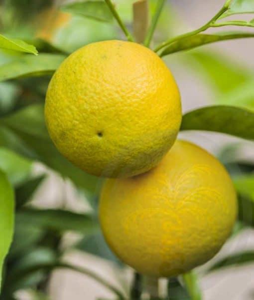 Fruit de citrumelo
