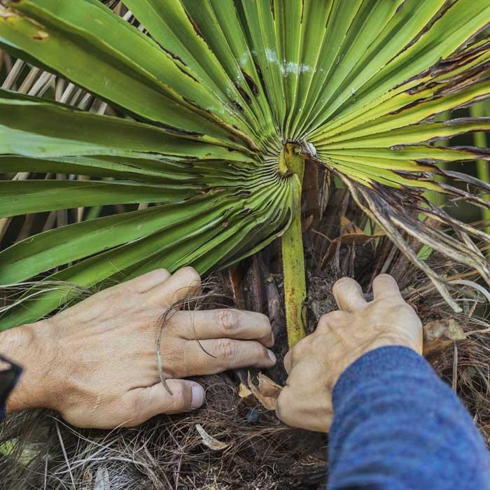 Inpection du coeur d'un palmier attaque par Paysandisia, le papillon palmivore