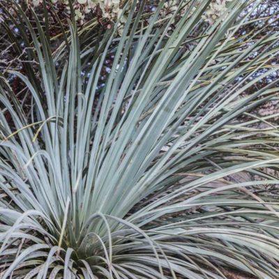 Feuillage d'Hesperoyucca whipplei (Yucca whipplei)