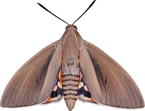 Femelle de Paysandisia archon, le papillon palmivore