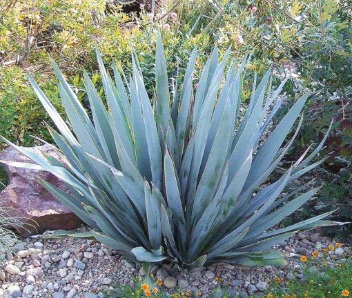 Yucca pallida Blue Powder à maturité
