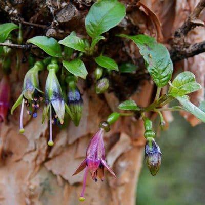 Détail de floraison de Fuchsia excorticata