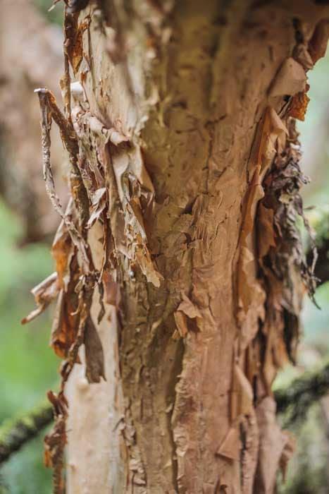 écorce de Fuchsia excorticata