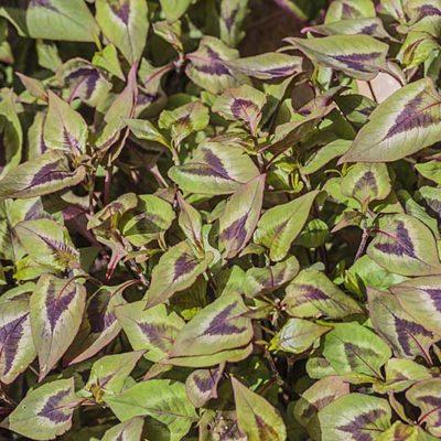 Persicaria nepalensis en livrée printanière