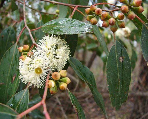 Fleur d'Eucalyptus brookeriana