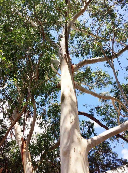 Eucalyptus brookeriana