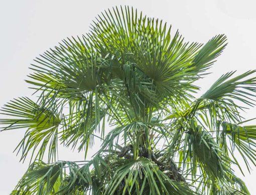 Trachycarpus Tesan