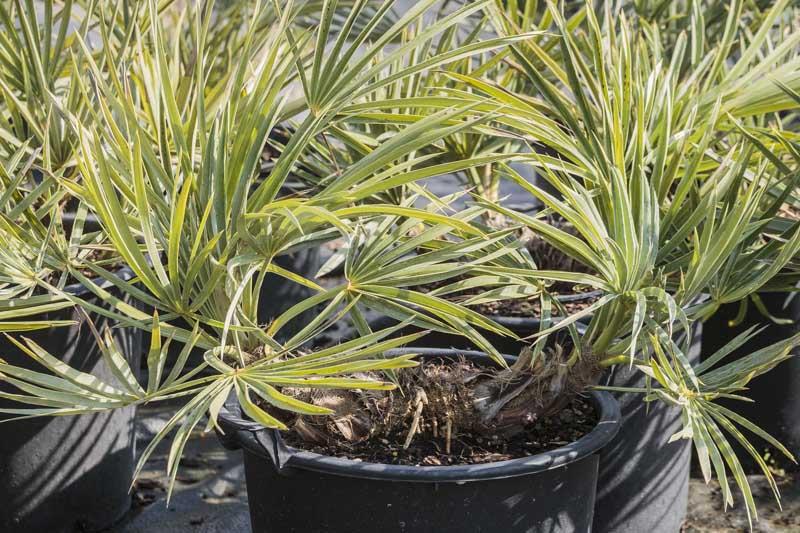 Palmier Trithrinax de notre production en pot