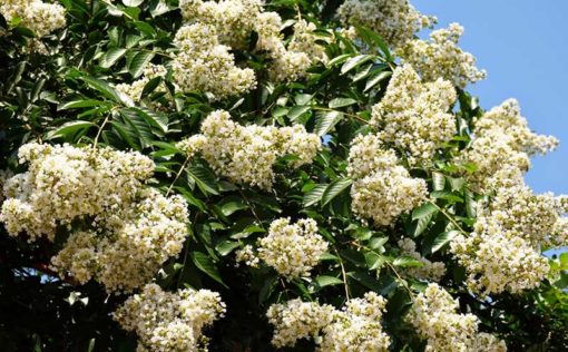 Floraison de Lagerstroemia subcostata