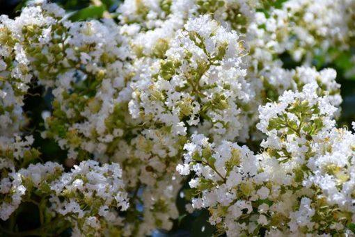 fleurs de Lagerstroemia subcostata